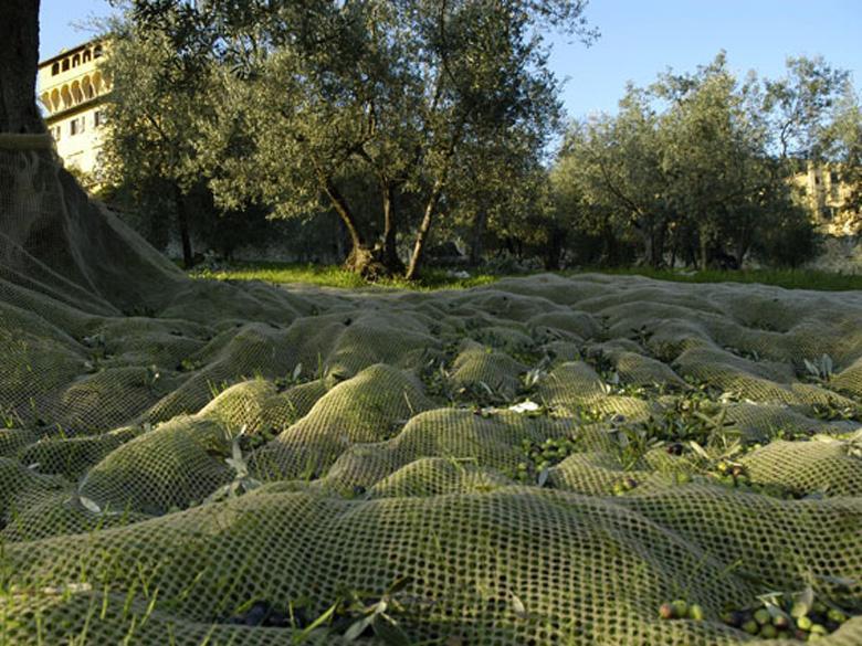 Oilve harvesting